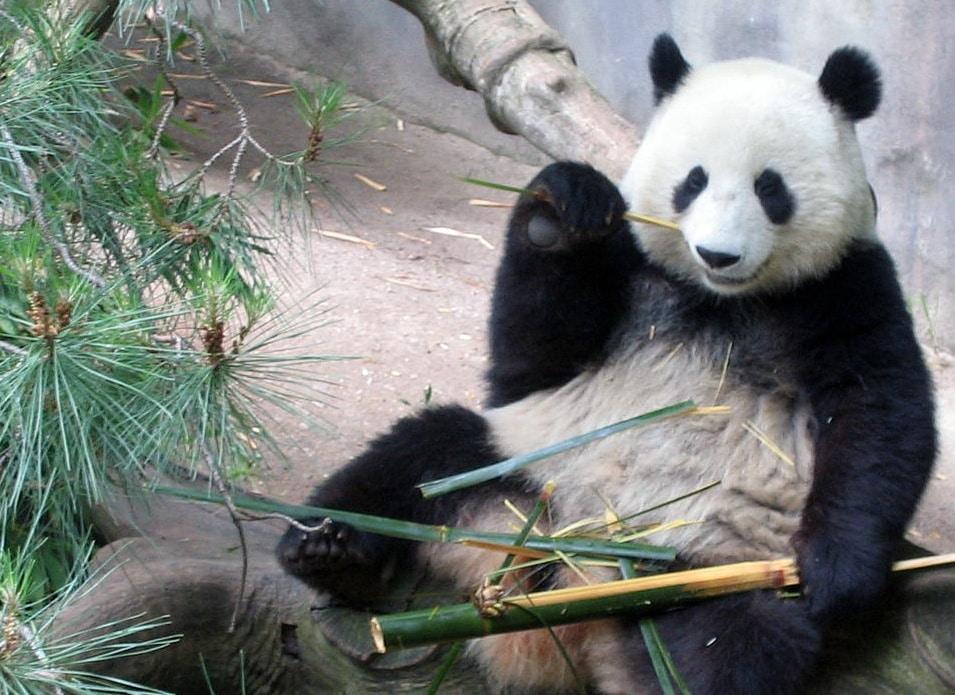 bambooinbedpanda